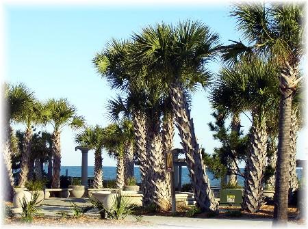 Palm tree grove on the Atlantic