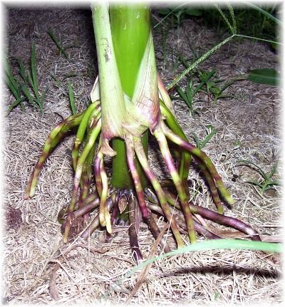 Corn root