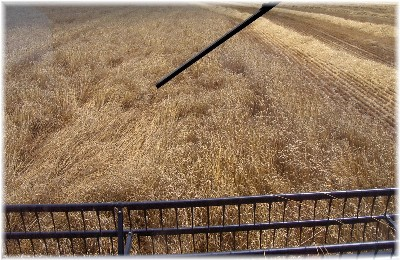 Photo of wheat harvest from combine