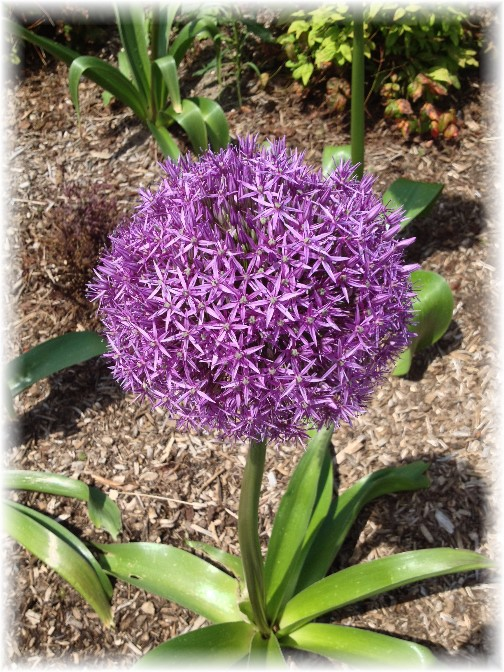 Persian onion flower on Westside bikeway 5/26/14
