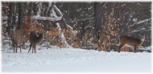 Deer in Adirondack Park 3/22/13