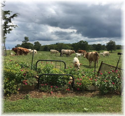 Arkansas flowers and cattle 8/7/17