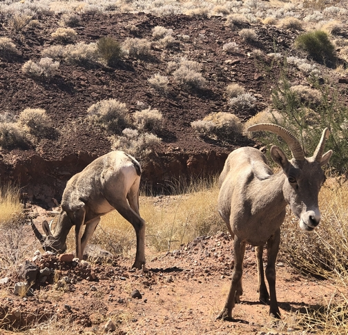 Big Horn sheep at Valley Of Fire state park, Nevada 9/30/19