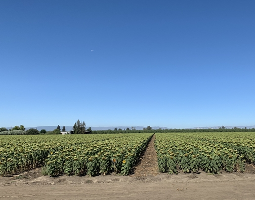California sunflower farm 7/23/19