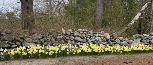 Daffodils against rock wall
