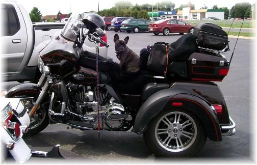 Harley dog 8/8/12