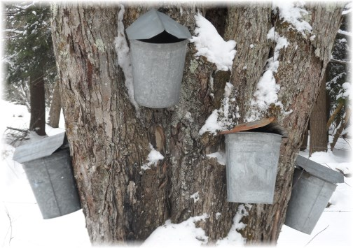 Maple tree taps and buckets for sap 3/22/13