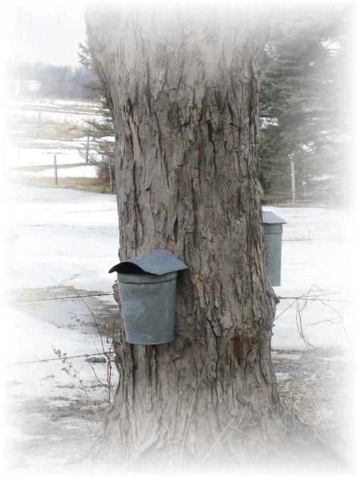 Maple sap buckets, NY 3/23/14