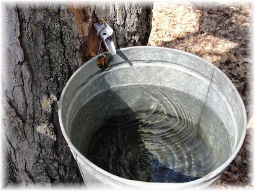 Maple tree tap for sap 3/22/13