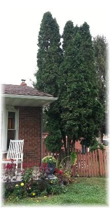 Arborvitae tree 10/8/17