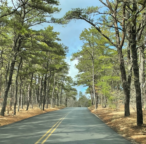 Cape Cod conifer forest