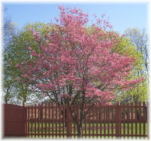 Dogwood in backyard