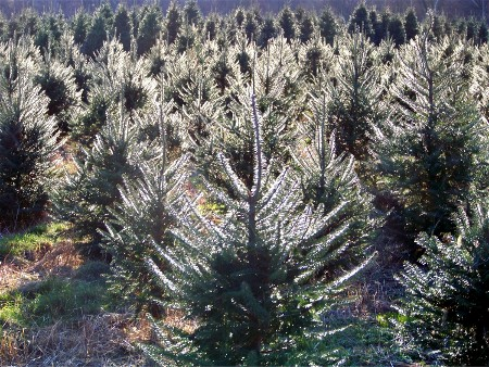 Elizabeth Farms Christmas trees, Lancaster County, PA