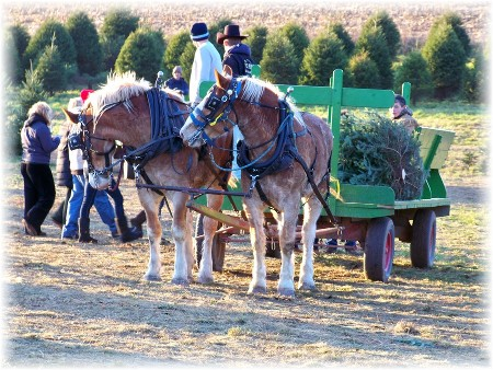 Elizabeth Farms Christmas trees, Lancaster County, PA (photo by Mike Martin)
