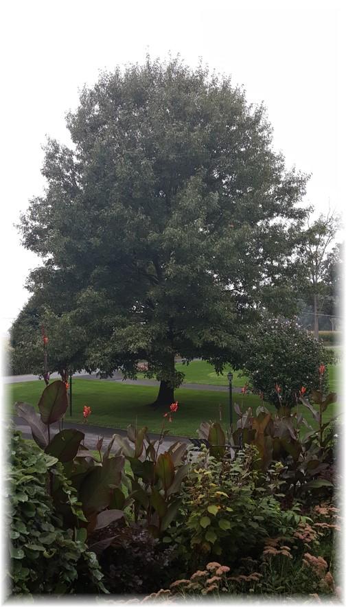 Front yard oak 9/13/17