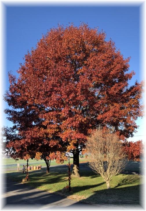 Front yard oak 11/24/17
