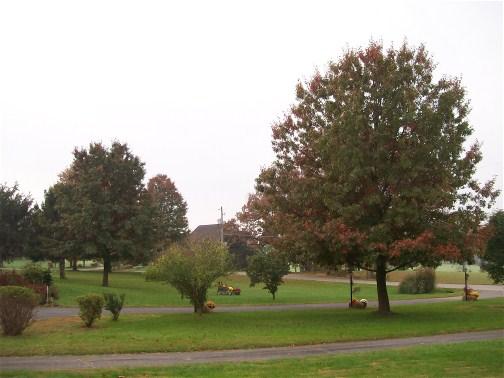 Oaks in front lawn 10/24/11