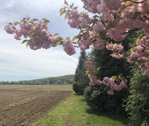Hershey flowering tree and field  4/23/19