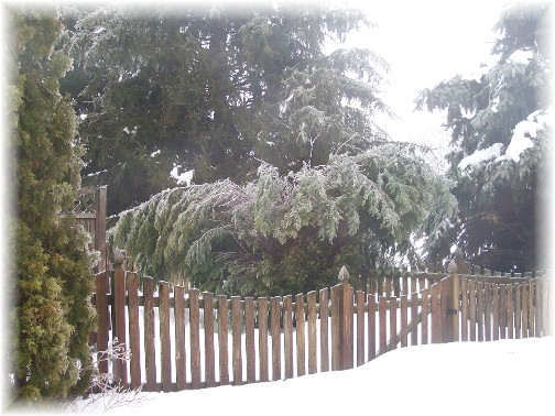 Tree flattened after ice storm 2/2/11