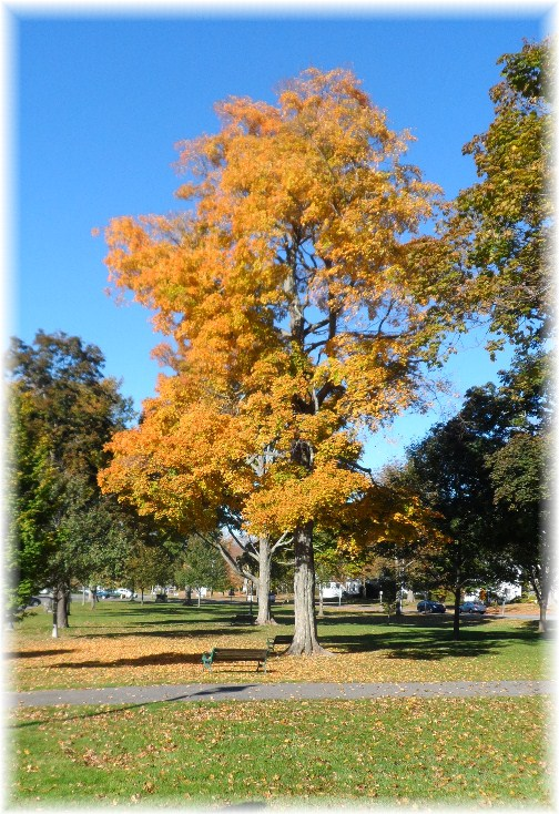 Autumn tree in Litchfield, CT (10-13-12)