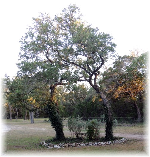 Live oaks in New Braunfels Texas
