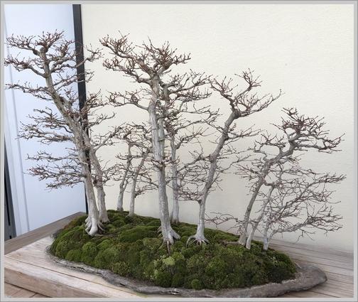 Longwood Gardens Bonzai grove11/11/18