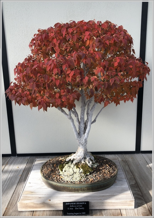 Longwood Gardens Bonzai tree 11/11/18
