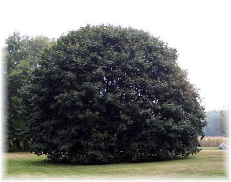 Silver maple in back yard