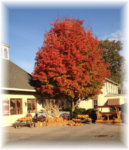 Maple at Good and Plenty 10/22/15