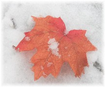 Maple leaf in snow 11/27/12