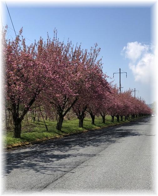 Marietta, PA cherry trees in bloom 04-28-18