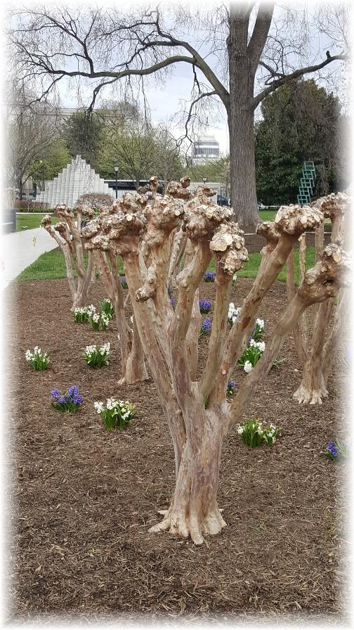 Washington pruned trees 3/25/16