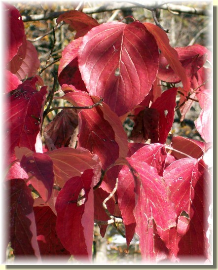 Red leaves in Smoky Mountains 10/28/10