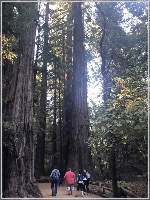 Redwood trees 10/20/18