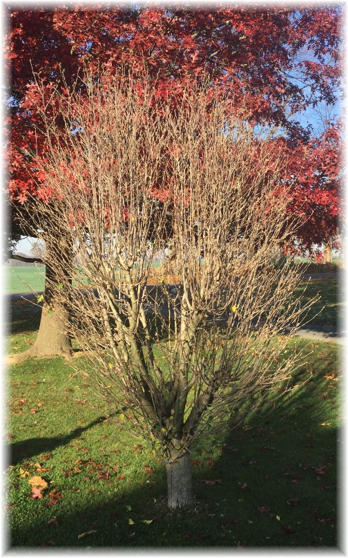 Rose of Sharon tree 11/9/15