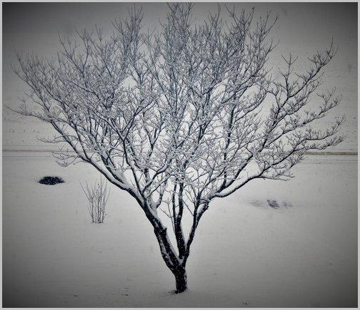 Snowy dogwood tree 1/29/19 (Ester)