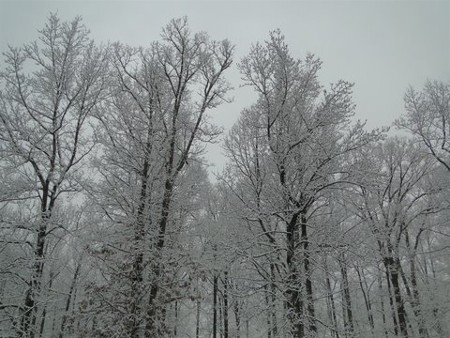 Snowy trees in Maryland 2/10