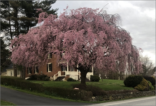 Flowering tree on Strasburg Pike 4/11/19 (Click to enlarge