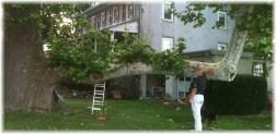 Sycamore tree branch