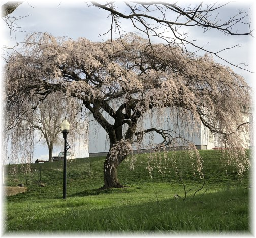 Weeping cherry tree in Lebanon County 4/24/18