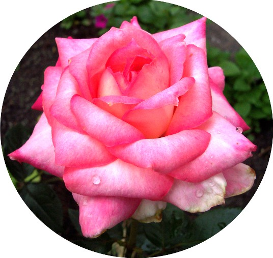 Photo of variegated pink rose