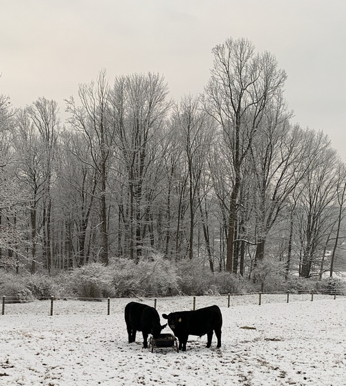 Black Angus in snow, Lebanon County, PA 12/4/19