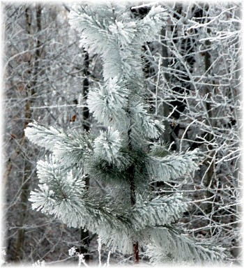Frosty pine (photo by Doris High)