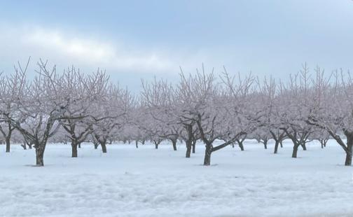 Icy trees in Seyfert Orchard