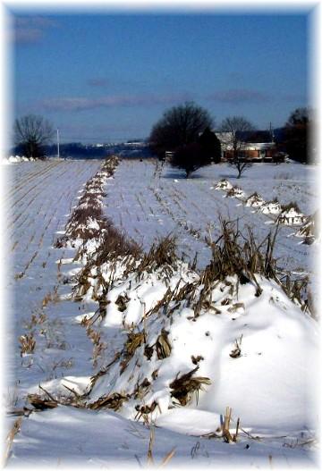 Corn shocks in snow 1/13/11