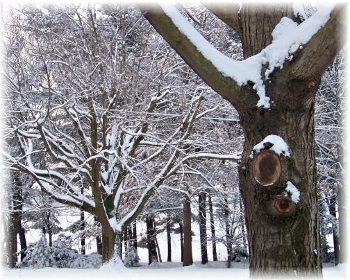 Snowy trees (Photo by Nancy Martin)